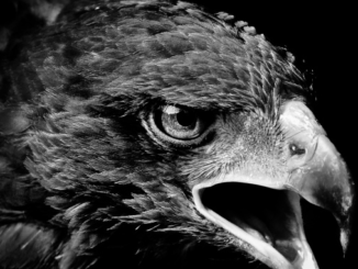 Les Aigles Noirs de Besiktas